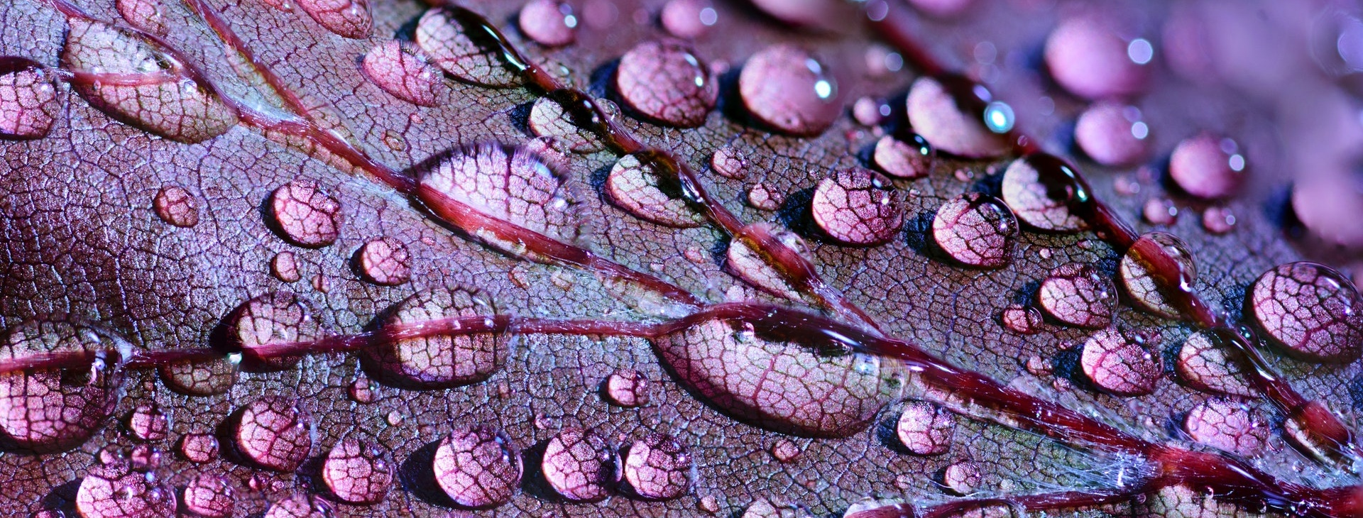 Dew on a Purple Leaf